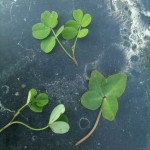 Couple of four and five leaf clovers from a casting session.
