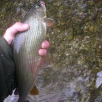 Another grayling - we had quite a few.