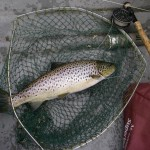 big trout mayfly 145 (Large)