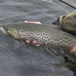 big trout mayfly 180 (Large)