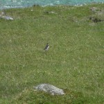I think this is a plover..