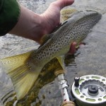 A well marked brown about to kick away!