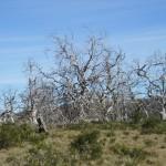 Dead Cider Gum trees..