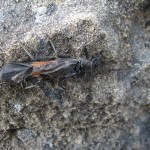 "A 2"" black and orange stonefly."