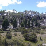 A grove of pencil pines. The dead ones were destroyed by a bush fire in the 50's.