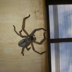 Huntsman spider..