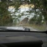 This robin ate something off the bonnet.. don't know what!