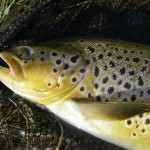 This area has some of the most beautiful brown trout I've seen.