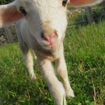 One of Tony's inquisitive lambs.. Tony owns and runs Buscot Backpackers. Stay there sometime. You will return.