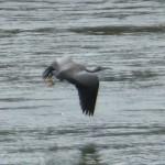 A NZ heron..
