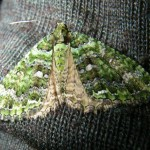 This amazing green moth was attracted to my headlamp.. St. Patricks day on Sunday! My 22 year fly-fishing anniversary.