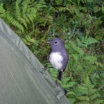 New Zealand Robin... very inquisitive birds!