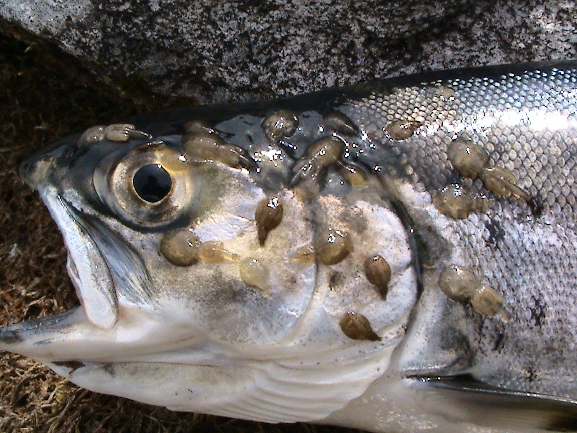 This is the resulf of farming salmon in open cages at sea... We must stop this. Please write a submission!