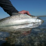 A small but gleaming seatrout!