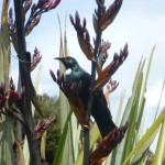 A Tui sang loudly and ate flax seeds.. Like my sister Creanebird.