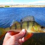 Sight fishing for these little perch on Butchers dam was fun!