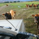 These inquisitive calves were brave.. the ring leader kept bringing them closer to me!