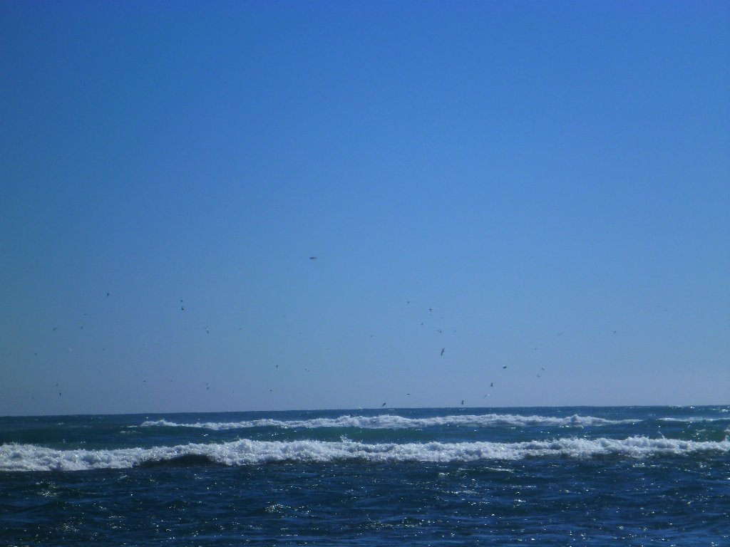 Plenty birds working hard out in the surf..