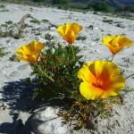 Lots of these flowers growing from sand. Breandan??