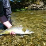 A beautiful small stream trout..