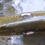 What was this eel thinking?? A 4.5lb trout? Ambitious!