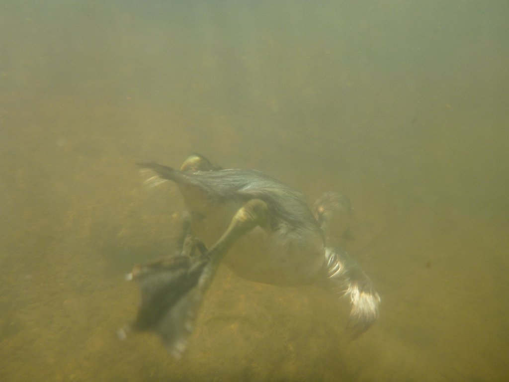 A young paradise duck dives to escape me and my camera!