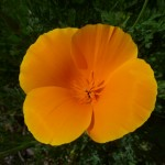 My mother says these are Californian Poppies..