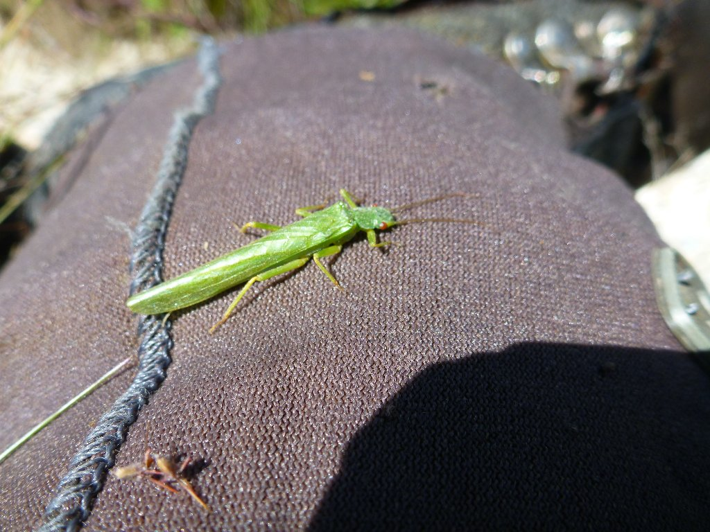 A big green stonefly. It had a bright red body and about 35mm long.