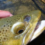 Can anyone ID this horrible looking thing. This trout from Benmore..