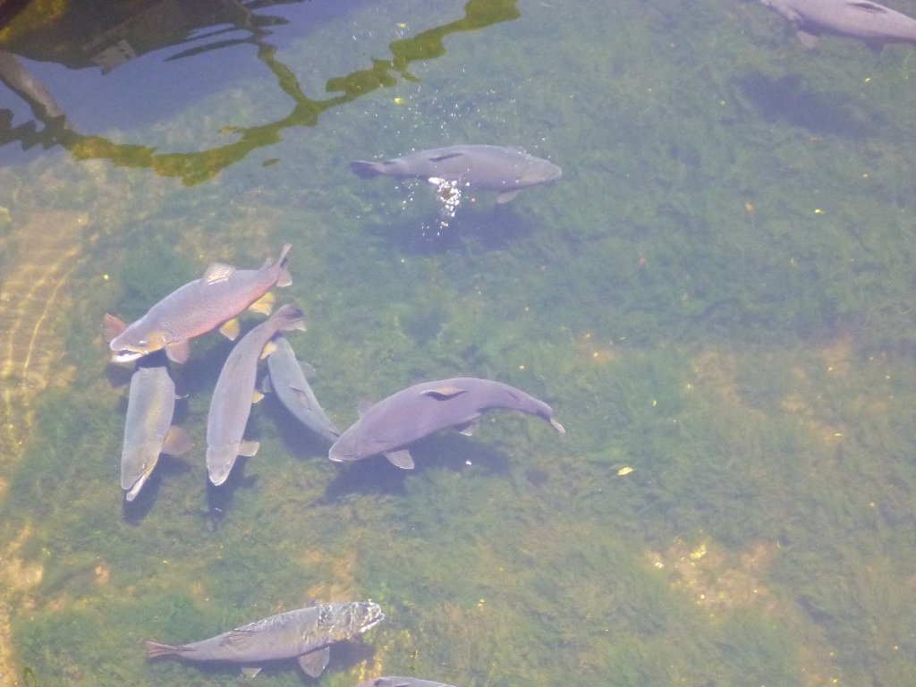 Some of the monster browns feeding on salmon pellets at the Paringa salmon farm..