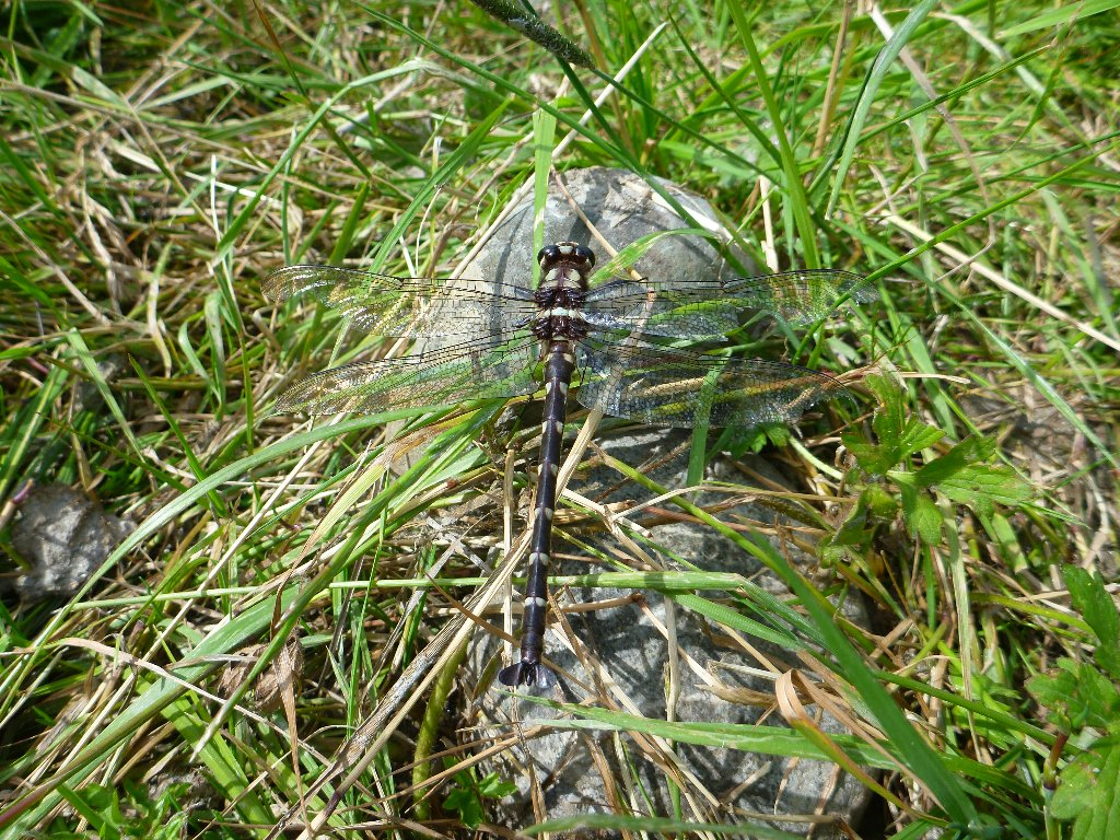 This huge dragonfly was about 90mm long!