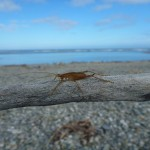 This big bug from Haast beach on the way home..