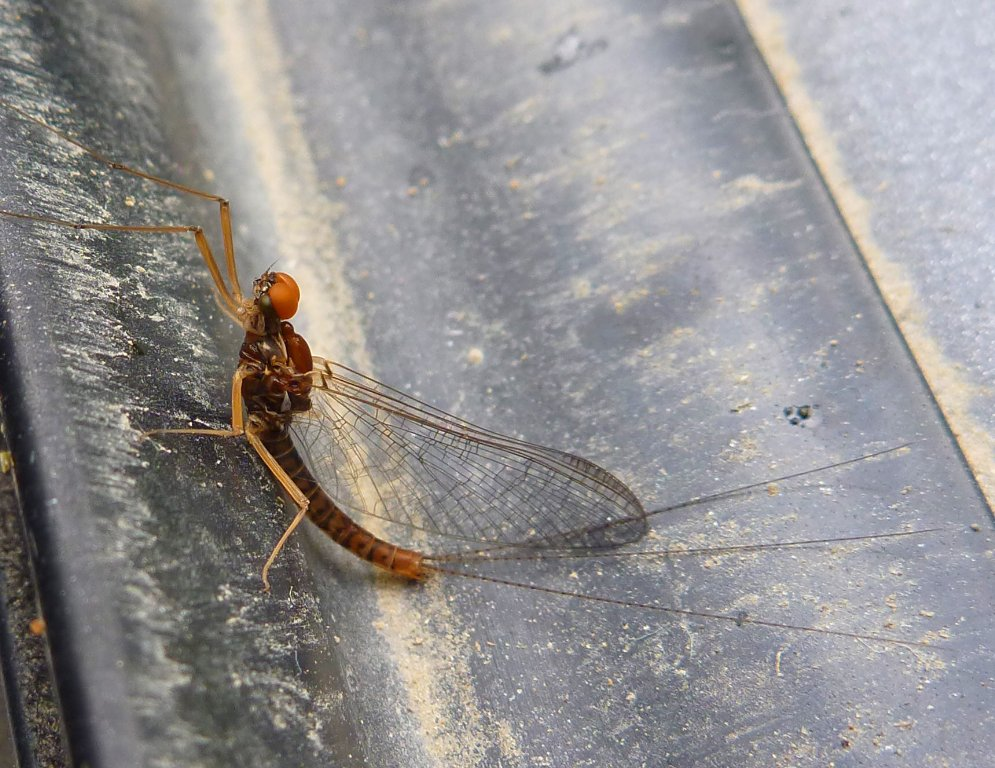 An unusual mayfly..