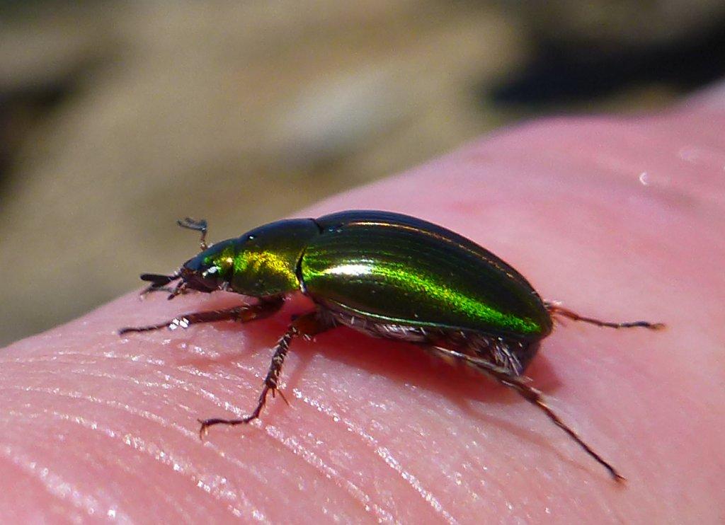The beautiful Green Beetle..