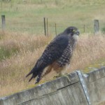 The Karearea, NZ's only endemic falcon. Jeff and I were greeted by 2, one on either side of a gate, on the way to the river..