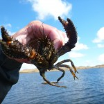 During a day fishing on Poolburn it pays to put some pots down. We got a bakers dozen of big crays (Koura)!