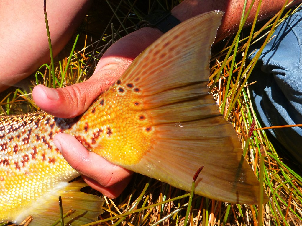 The terracota red fins and golden flanks make this a fish to remember..