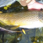 This fabulous trout was rising. I covered him, he refused it but then turned and decided it was good enough after all!