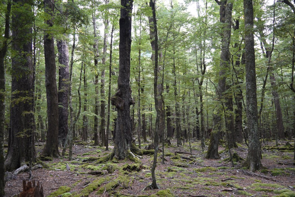 The beech forest on the way to Lake Sylvan.