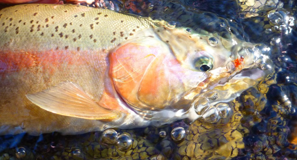 The fish in the braids are looking closer to spawning than a week ago. Time to leave them be and hit the main river.