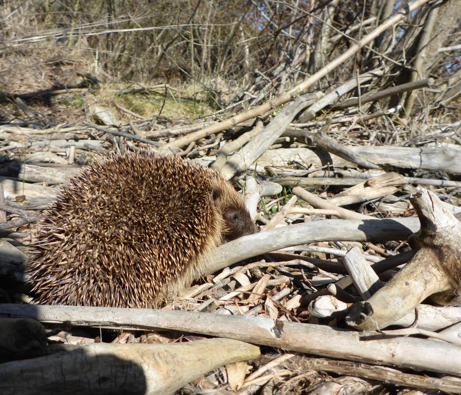 A hedgehog..
