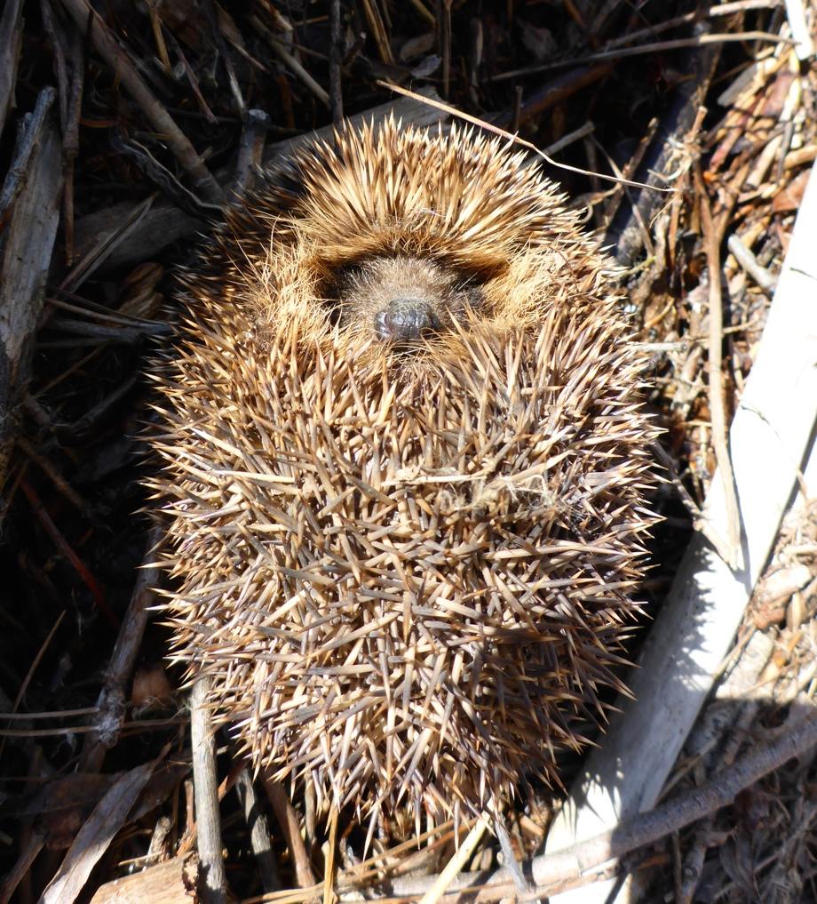All curled up in his spiky sleeping bag!