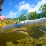 Last weekend on the river. Quite high and coloured but good numbers of fish about.