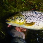 I landed lots of these cracking trout on my day on a small lake..