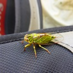 Beautiful creatures the cicadas are..