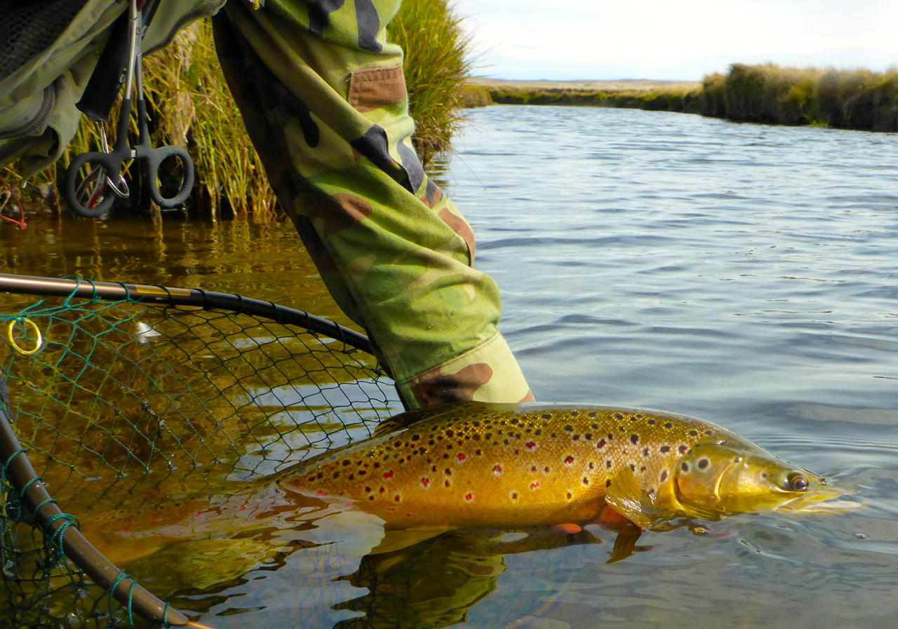 A superb copper brown, about 6lbs, confidently ate my crane fly just after lunch..
