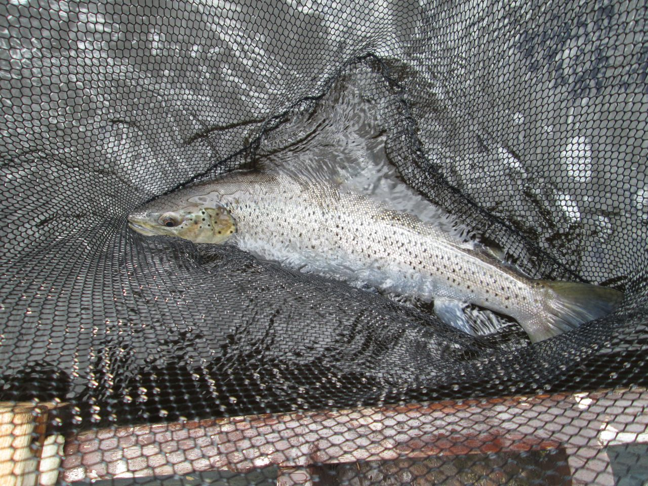 ..its a huge seatrout!