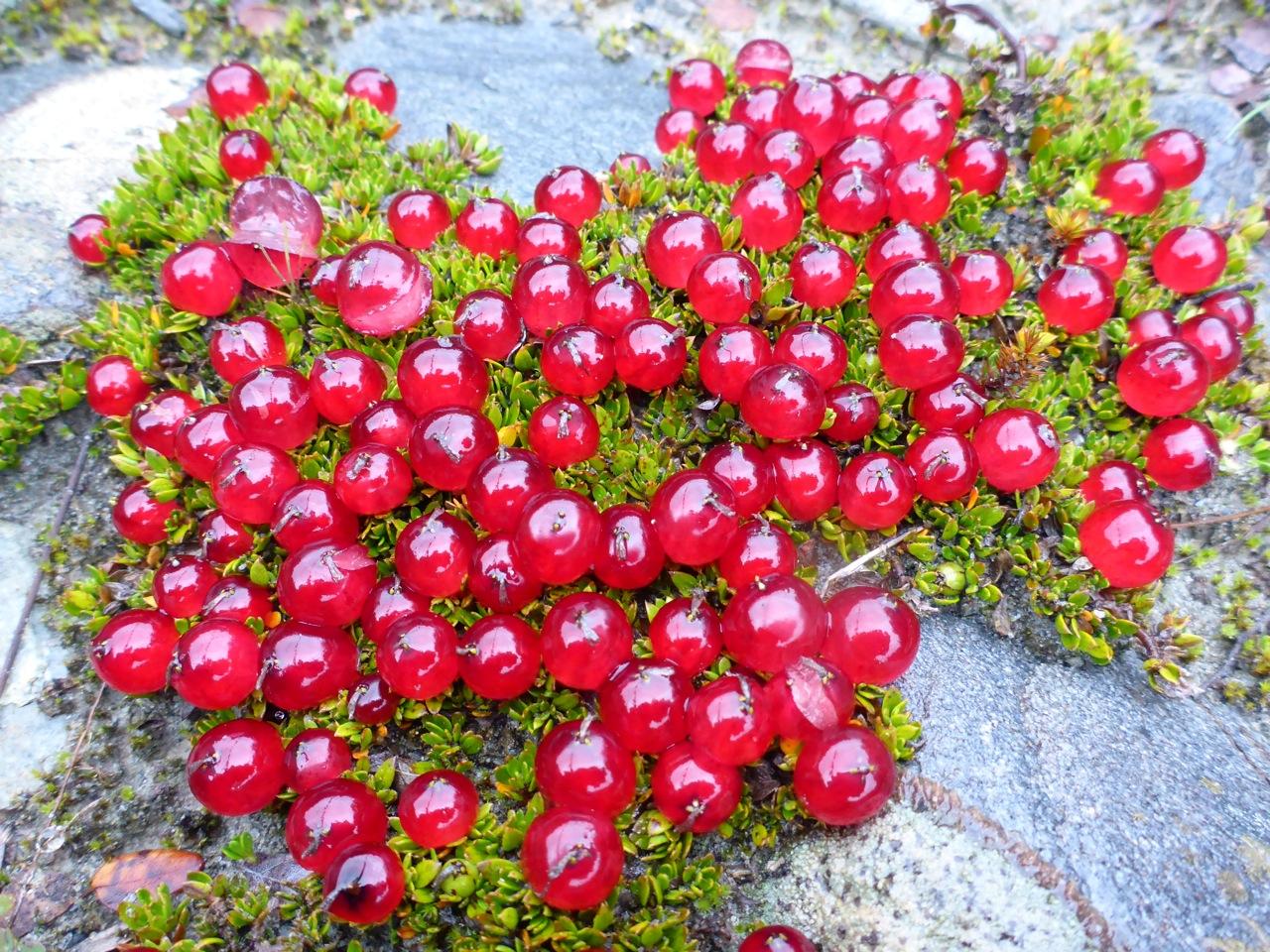 Berries on the ground.. Breandan??