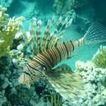 Lion fish..