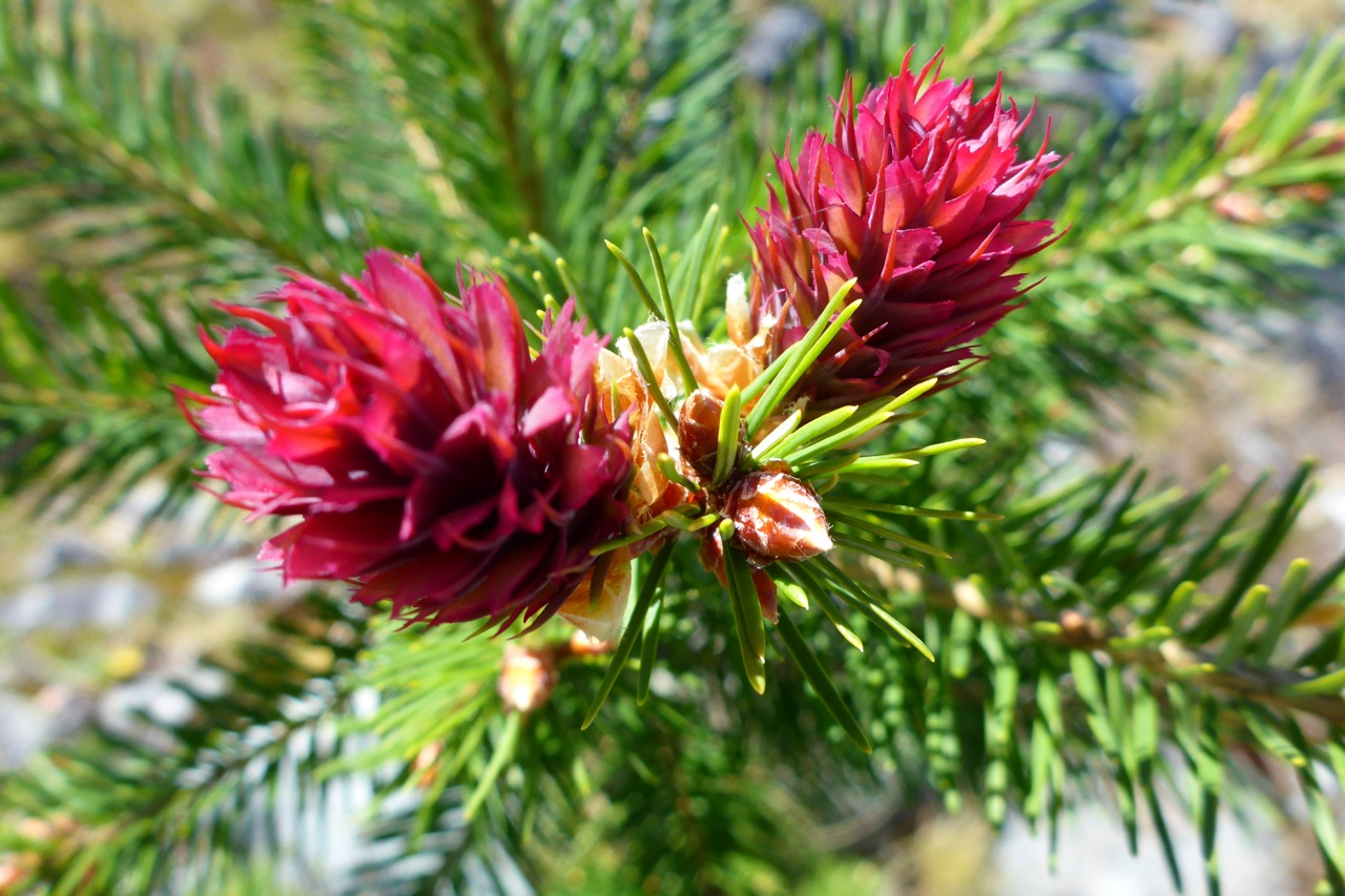 A pine tree with its flowers..